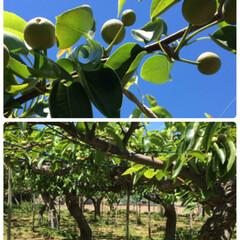 たますぐり/梨/農作業 初めて梨の「たますぐり」のお手伝いに行っ…