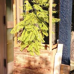 手作り/簡易温室/庭/DIY/端材 冬支度。簡易温室の準備。去年より成長した…
