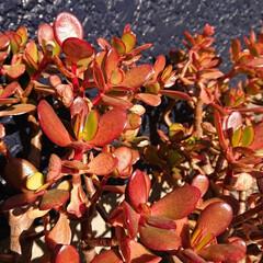 紅葉/軒下/鉢/冬/金のなる木/ガーデニング 『金のなる木』今年は温室に入れず軒下に置…