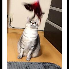 釘付け/ハル/猫じゃらし/ペット/猫/にゃんこ同好会/... 猫じゃらしに釘付けのハルですが、なかなか…