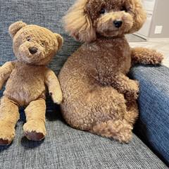 愛犬/トイプー/いぬ/犬のいる暮らし/トイプードル 愛犬トイプードルのピノ。 一歳で『肥満で…(1枚目)