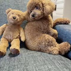 愛犬/トイプー/いぬ/犬のいる暮らし/トイプードル 愛犬トイプードルのピノ。 一歳で『肥満で…(2枚目)
