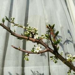 わが家/杏子/あんず/アンズ/プラム/開花/... 開花宣言‼出ました☺ うちのプラムです。…