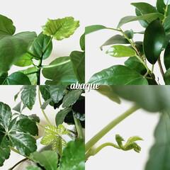 新芽/観葉植物 観葉植物たちの新芽。つやつや光って可愛い。
