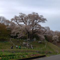 花見/桜/ライトアップ/夜桜/春のフォト投稿キャンペーン/ありがとう平成/... とても寒かったのですが綺麗でした(*^^…