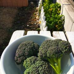 春/野菜/家庭菜園/無農薬野菜/フード/ハンドメイド 今日は季節外れのブロッコリー収穫 野菜が…