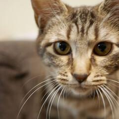 猫と暮らす/猫のいる暮らし/保護猫/しましま/キジトラ猫/きじとら/... ピコ丸です。顔だけ見るととってもスリムか…