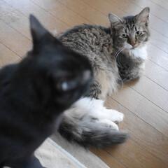 長毛猫/黒猫/きょうだい猫/多頭飼い/猫のいる風景/猫と暮らす/... 見つめ合うチーとミー。目でどんな会話して…(1枚目)
