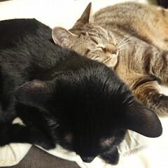 保護猫/多頭飼い/猫のいる生活 仕舞いたいお昼寝布団にもう一匹乗ってる!…