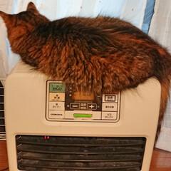 猫と暮らす/猫のいる風景/猫のいる暮らし/雑種猫/長毛種/長毛猫/... ちーたんです。ファンヒーターの上でまった…