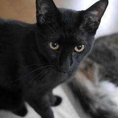 多頭飼い/保護猫/黒猫/猫のいる暮らし/猫と暮らす/フォロー大歓迎/... みーくんはおひげも真っ黒。鼻も肉球も真っ…