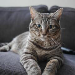 保護猫ちゃん/保護猫出身/保護猫/ペット/猫 ピコ丸です。自然光の下で。キリッ。実物は…