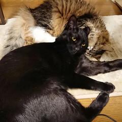 長毛猫/黒猫/きょうだい猫/猫のいる風景/猫のいる暮らし/猫と暮らす/... ちーたんを枕にするみー君…。(それで良い…