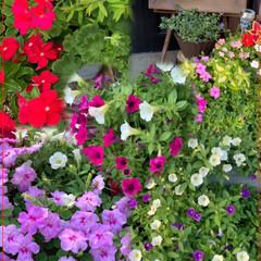 ウォーキング/夕景/ガーデニング/夏の花/雨季ウキフォト投稿キャンペーン/令和の一枚/... こんばんは(*^▽^*)ノ 庭の夏の花が…