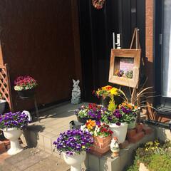 花/ガーデニング 玄関周りのお花が一気に咲きだしました、暖…