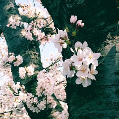 花見/桜 今日も晴れて桜🌸がほぼ満開でした。 大木…