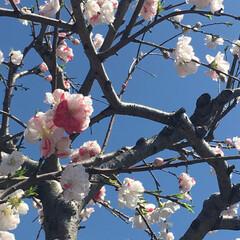 2色/梅/花 1つの花に二色の珍しい梅が咲いていました…