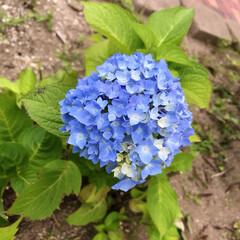 紫陽花 今朝の紫陽花🤗 見て見て〜👀 こんな綺麗…