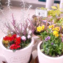 じょうろ型/植木鉢/ガーデンシクラメン/カルーナオータムパレット/カルーナブルガリス/エレモフィラニベア/... 秋冬の寄せ植えしました😆今日は強風だった…