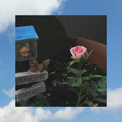 ミニ薔薇/令和の一枚/暮らし/100均 おはようございます。☀ ベランダのミニ薔…
