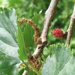 ブラックベリーの仲間?/赤い実/木いちご 3日前いつもの公園で、赤くなっている実と…(2枚目)
