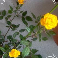 お花のある暮らし/キッチン/黄色の薔薇/雑貨 ベランダの鉢植え、黄色の薔薇が次々に咲い…(1枚目)