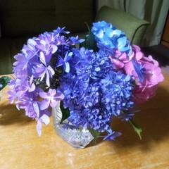いろんな種類の紫陽花もらいました/ダンスパーティー/紫陽花 友人の家に咲いてる、いろんな種類の紫陽花…(1枚目)