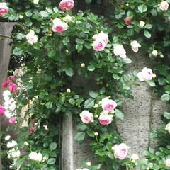 グリーンライブセンター/薔薇/令和の一枚/LIMIAおでかけ部/おでかけワンショット 外側はまっ白で、内側になるほどピンクにな…