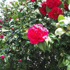 不思議なつばき/八重咲きのつばき? 今日は、北風強くて寒い1日でした。 娘の…