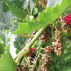 ブラックベリーの仲間?/赤い実/木いちご 3日前いつもの公園で、赤くなっている実と…(3枚目)