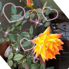 つぼみがふくらむ/オレンジのバラ/ベランダガーデン こんにちは。 前に投稿したミニバラの花、…