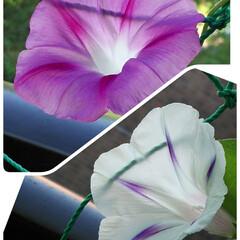 ベランダガーデニング/梅雨の晴れ間/朝顔咲いたよ 毎年、朝顔とフウセンカズラをベランダで育…