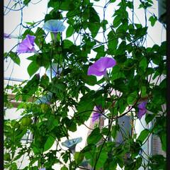 風船カズラ/朝顔 ベランダの朝顔が、今朝はいっぱい咲いてく…