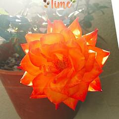 ミニ薔薇/ベランダガーデニング ベランダのミニ薔薇です。 オレンジの色に…