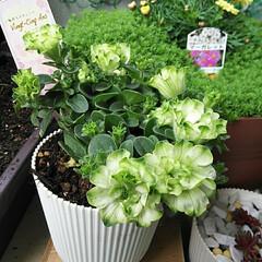 虹の玉/フレンチラベンダー/花かんざし/ペチュニア Vingt-Cinq-.../ベランダガーデンのお花/暮らし ベランダの花々が元気に育っています。癒や…