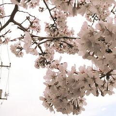 桜満開/おでかけ あっという間に桜満開。 でも、季節は春と…