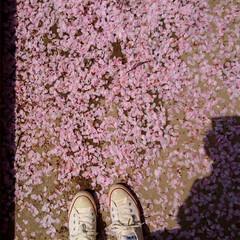 三重県/宮川堤の桜祭り/毎年激寒/お花見/暮らし 伊勢市にある宮川堤の桜祭り😍👆💕 さくら…