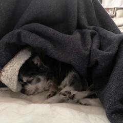 チワワ/老犬との暮らし/ダイソー/100均/DIY/暮らし/... コタツの隅にいるおばあちゃんチワワ  寒…(1枚目)