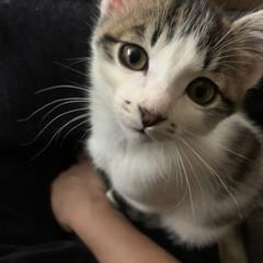 男の子/ポートレート/猫/子猫/暮らし/フォロー大歓迎 膝の上に登ってきた子猫  最近、ゴロゴロ…