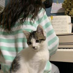 練習/ピアノ/子猫/住まい/暮らし/フォロー大歓迎 ピアノを練習する娘の椅子に乗って  間違…