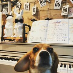 セリア/DIY/剥がせる壁紙/フランフラン/塩ビパイプ/犬 ピアノ好きのビーグル  練習を聴くのが大…