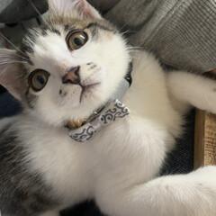 首輪/甘えん坊/猫/子猫/100均/フォロー大歓迎 本日の甘えん坊  昨日は私の指を噛みちぎ…
