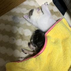 チワワ/老犬/子猫/リミアの冬暮らし/暮らし/フォロー大歓迎 今日も婆ちゃんチワワの近くにいたがる猫 …(1枚目)