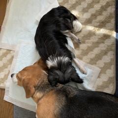 ホットカーペット/老犬/ビーグル/犬/暮らし/フォロー大歓迎 老犬チワワ用の小さいホットカーペット  …