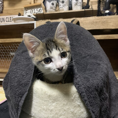 子猫/おままごと/リミアな暮らし/キャンドゥ/ダイソー/セリア/... 娘のおままごとキッチンの台の上に耳付きコ…