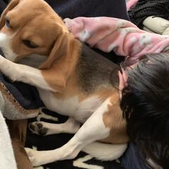 枕/ビーグル/毛づくろい/犬/フォロー大歓迎/うちの子ベストショット 私の腹の脇を舐めながら  娘に枕にされて…