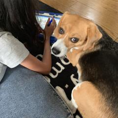 犬/勉強/ビーグル/フォロー大歓迎/わんこ同好会/うちの子ベストショット 娘と勉強してる気分の犬  勉強中の娘の隣…