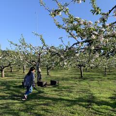 ミツバチ/リンゴ畑/リンゴ/令和の一枚/フォロー大歓迎/風景/... 娘が走る実家のリンゴ畑  リンゴの花が満…