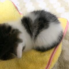 子猫/ハート/模様/猫/暮らし/フォロー大歓迎 体を丸めると  模様がハートに見える事を…