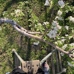 津軽/花/リンゴ/リンゴ畑/令和の一枚/フォロー大歓迎/... 実家のリンゴの木を脚立から撮影  2m近…